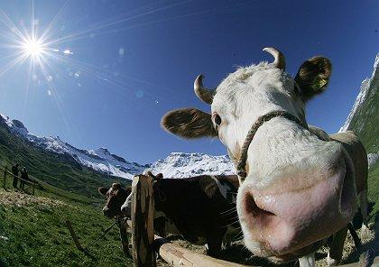 Khí Mêtan có ở khu vực chăn nuôi