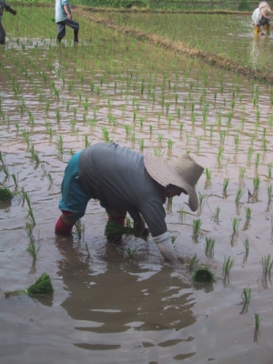 Khí Mêtan có ở khu vực canh tác như trồng lúa