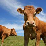 Bò là một nguồn phát thải khí Metan