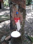 Ứng dụng khí etylen trong khoan lấy mủ cây cao su